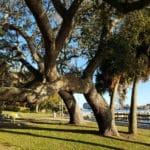 Southern Live Oak-Fort Walton Beach Florida-02
