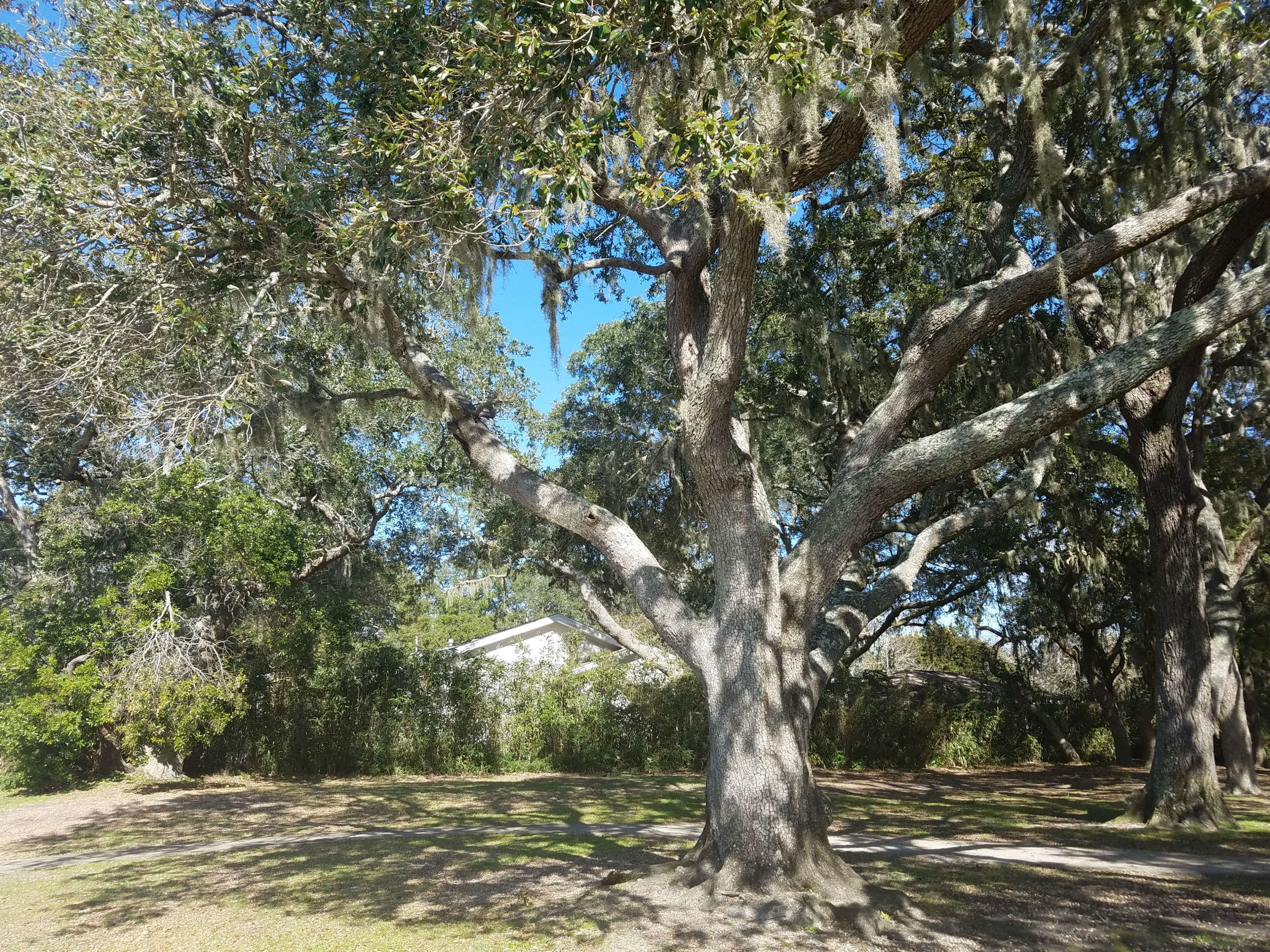 Southern Live Oak-Fort Walton Beach Florida-04